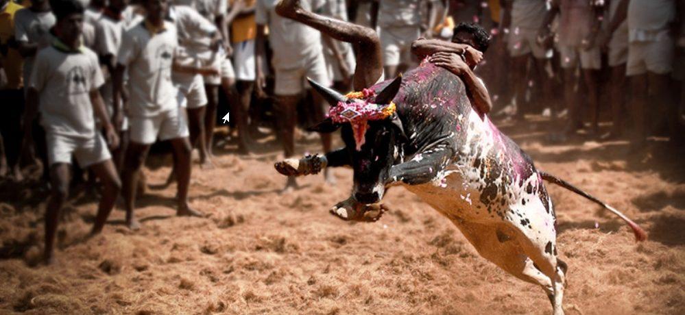 Jallikattu, sport Indien
